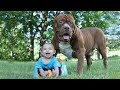 Funny Pitbull and Baby Videos Funny Babies and Dogs Playing Compilation