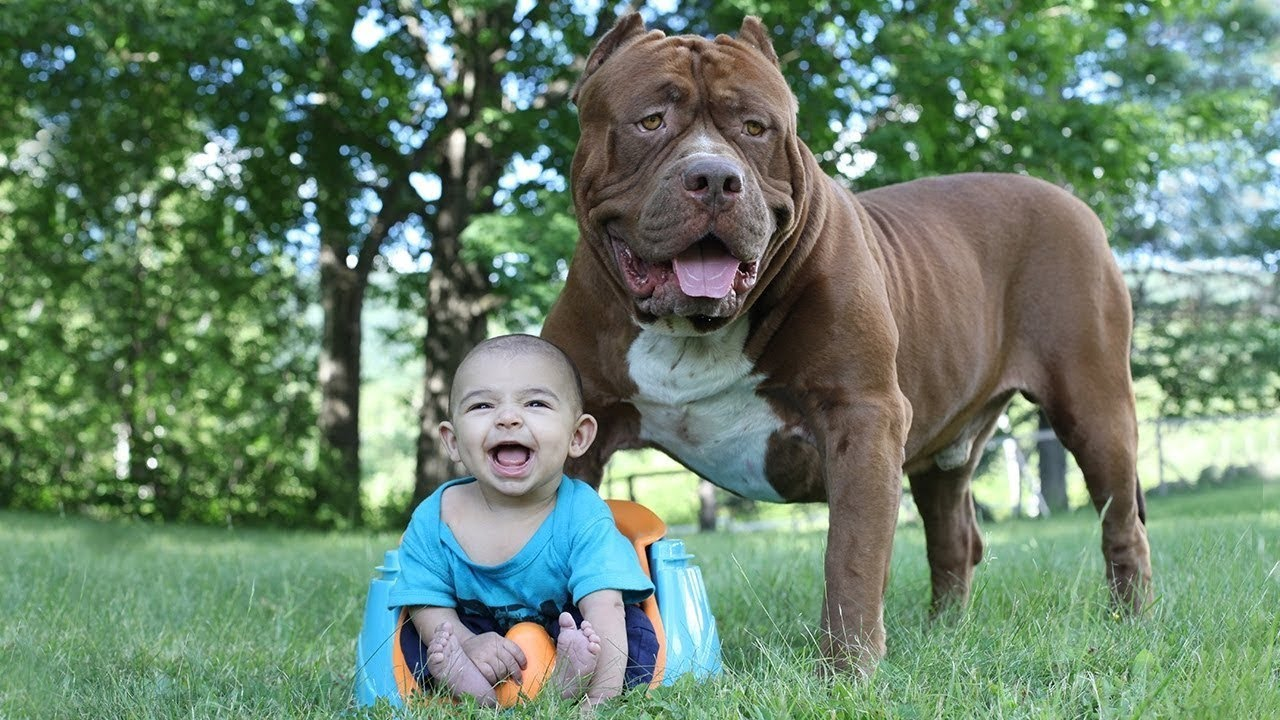 funny pitbull and baby videos compilation 2017   youtube