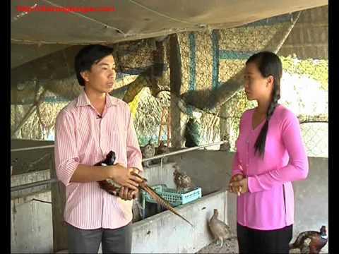 Nhanonglamgiau.com - Làm giàu với mô hình nuôi chim Trĩ, gà Đông Tảo