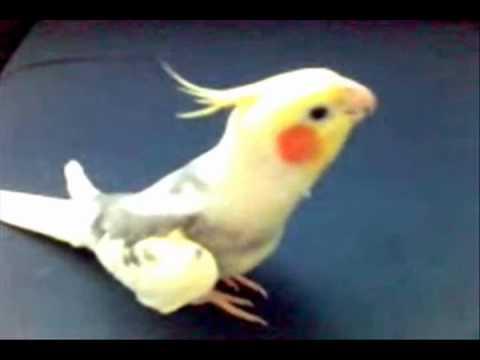 Папагал свири Пајдушко оро
