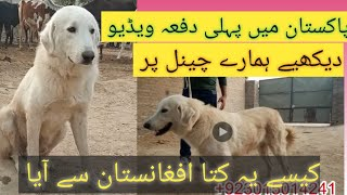 First Time Complete Information About Afghan Kouchi dog Breed In Pakistan on our Chanel Punjabi Shok