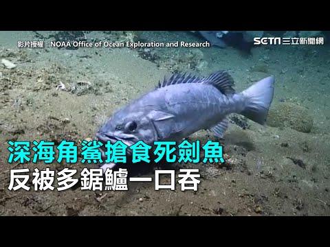 深海角鯊搶食死劍魚 反被多鋸鱸一口吞 三立新聞網SETN.com