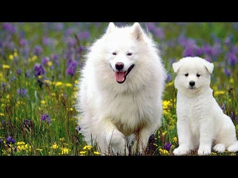Funny Russian Dog Puppy With His Mother|| Cute Fluffy & Funny Samoyed Pup Trying To Escape