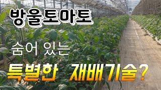 토마토 재배기술 특별한 기술 ~  접목묘 모종값 한해 …