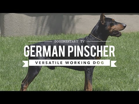 ALL ABOUT GERMAN PINSCHER: VERSATILE WORKING DOG