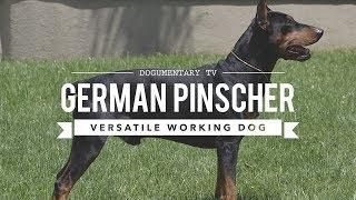 ALL ABOUT GERMAN PINSCHER: VERSATILE WORKING DOG