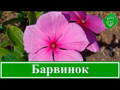 🌺 Цветок барвинок – посадка и уход, выращивание барвинка из семян