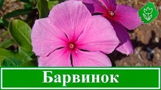 видео Пушкиния: посадка и уход в открытом грунте, фото, выращивание и размножение