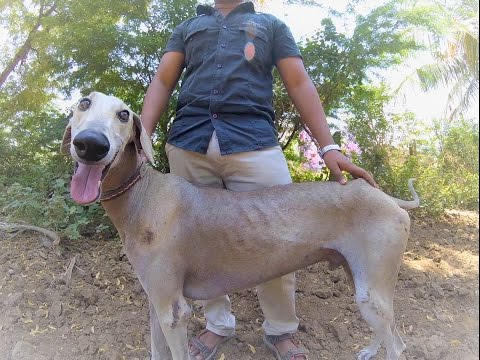 Meet 3 Beautiful, Endangered Dogs of India | CANIDAE®
