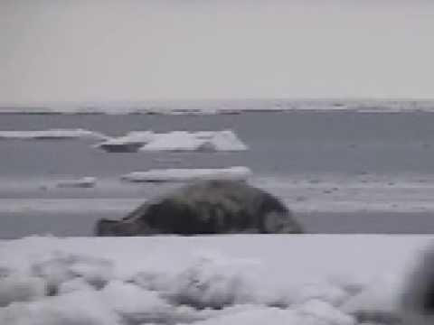 Gambell Alaska, seal hunting 3