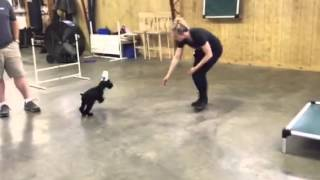 Giant Schnauzer Puppy L2 Early Puppy Obedience Training For Sale