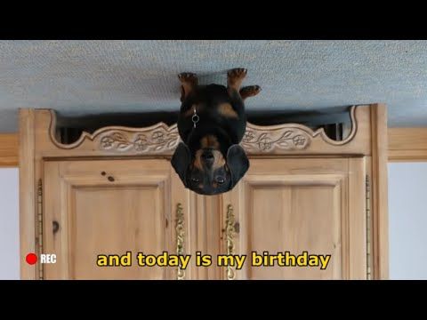 Ep 2: Oakley the Dachshund's BIRTHDAY VLOG - Funny Dog Video