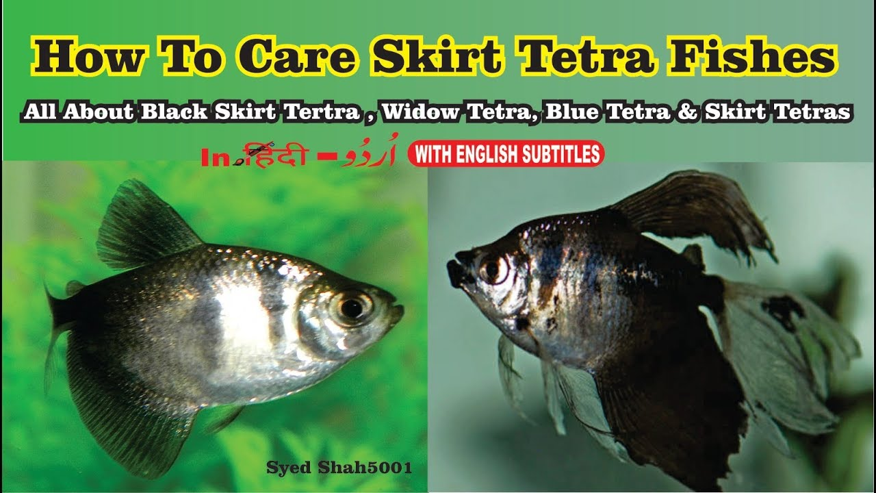 How To Care Widow Tetras Tankmates Size Black Skirt Tetras Widowtetras Youtube