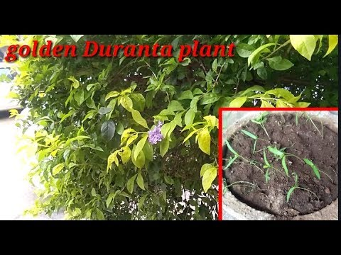Golden Duranta Plant Growing From Seeds Easy