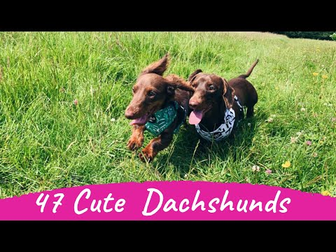 47 Cute and Funny Dachshund Videos Instagram | Adorable Sausage Dogs
