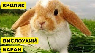Разведение вислоухих кроликов породы Баран как бизнес идея | Кролик вислоухий баран