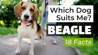 Is a Beagle the Right Dog Breed for Me? 18 Facts About Beagle Dogs!