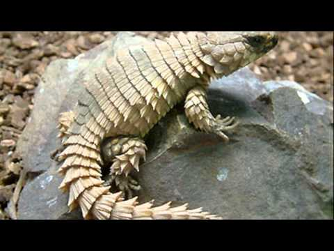 armadillo lizard - YouTube
