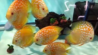 Рыборазводня в гараже, часть 5: дискусы для разведения