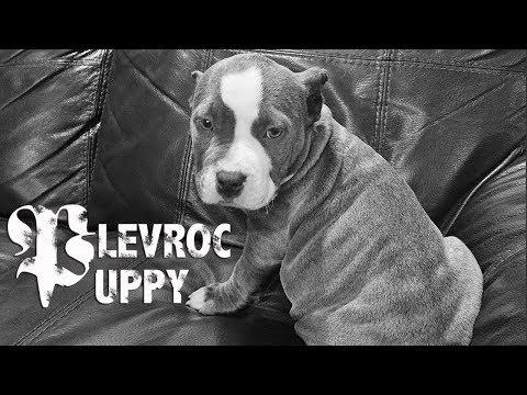 An American bully puppy