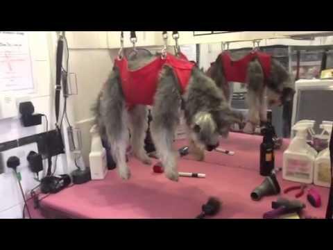 miniature schnauzer in grooming hammock youtube