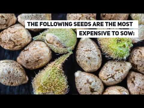 Wikileaf - The Most Expensive Cannabis Seeds in the World