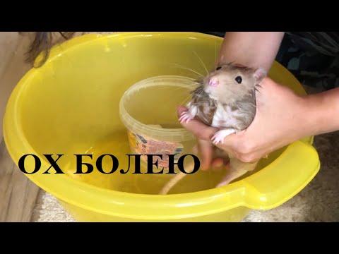 Вопрос: Чем болеют домашние крысы?