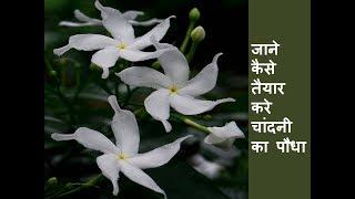 कलम से  कैसे करे  तैयार नया चांदनी का पौधा /  How to regrow Crape Jasmine from Grafting #4
