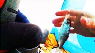 Наконец-то клюет  Зимняя рыбалка в палатке. Окунь, сороги, уклейка