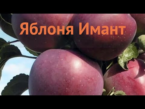 Яблоня обыкновенная Имант (malus imant) 🌿 яблоня Имант обзор: как сажать саженцы яблони Имант