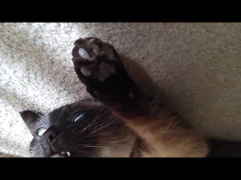 Silly Siamese cat sunbathing, funny and cute