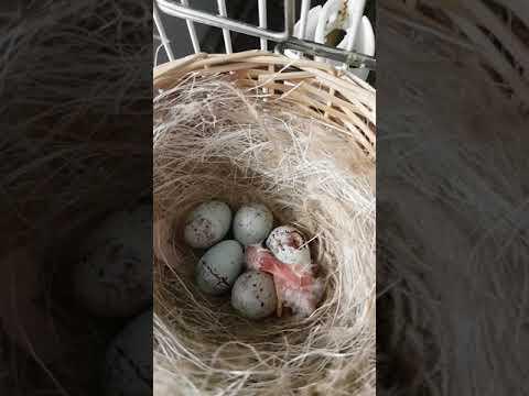 schiusa uova di
