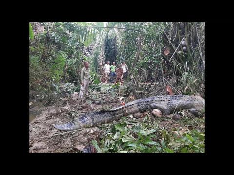 Besar Gila Buaya ! Di Tawang Sri Aman Sarawak