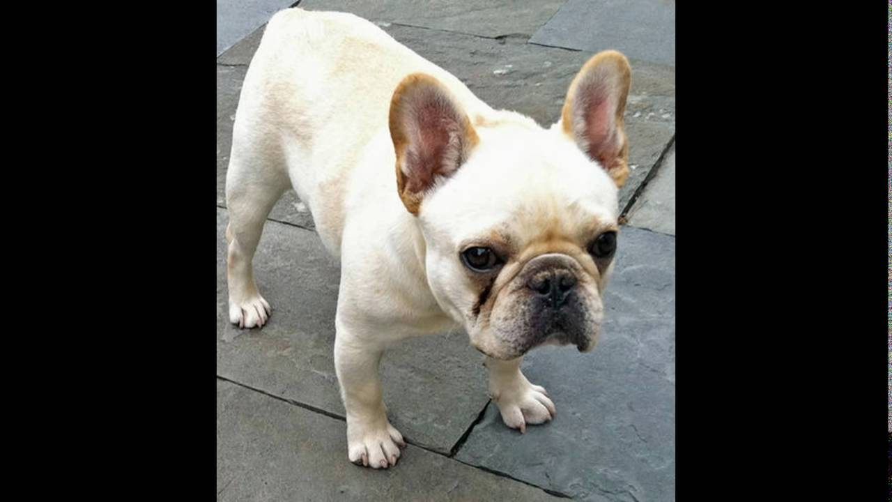 Cream Fawn Female French Bulldog Puppy 2812155908