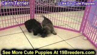 Cairn Terrier, Puppies, For, Sale, In, Portland, Oregon, Or, Mcminnville, Oregon City, Grants Pass,