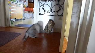 Kitten fight/ Scottish Fold Kitten Kampf