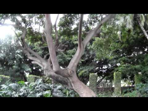 Walking 12 Miles In Hawaii ( Part 2 Of 12 ) Banyan tree