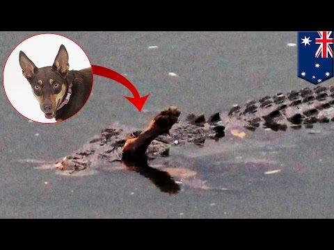 Crocodile and dog: Reptile digests Kelpie pooch in Queensland, Australia - TomoNews