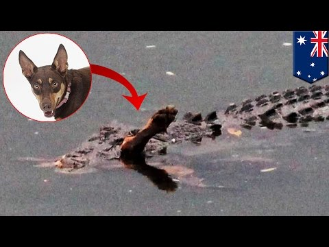 Thumbnail: Crocodile and dog: Reptile digests Kelpie pooch in Queensland, Australia - TomoNews