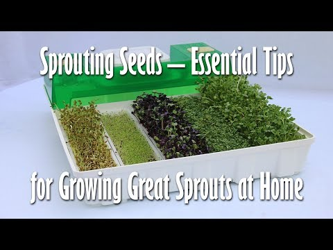 Sprouting Seeds – Essential Tips For Growing Great Sprouts At Home