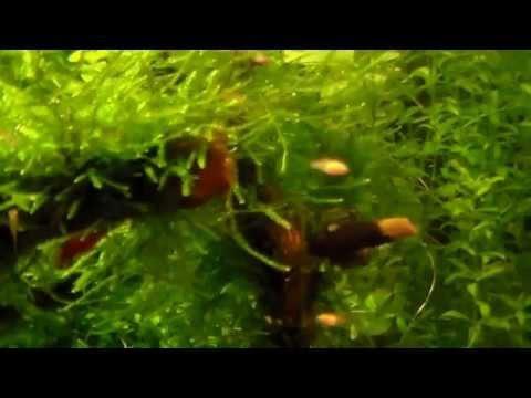Меченосец рыбка:содержание, кормление,разведение,фото,видео