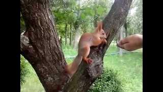 Ручная белочка в городском парке.Белка грызет орешки.