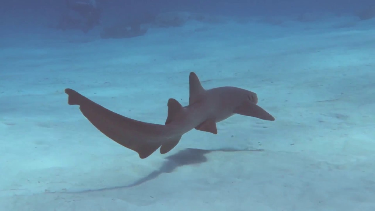 The Mexican Great White Shark Scuba Diving In Cozumel Youtube