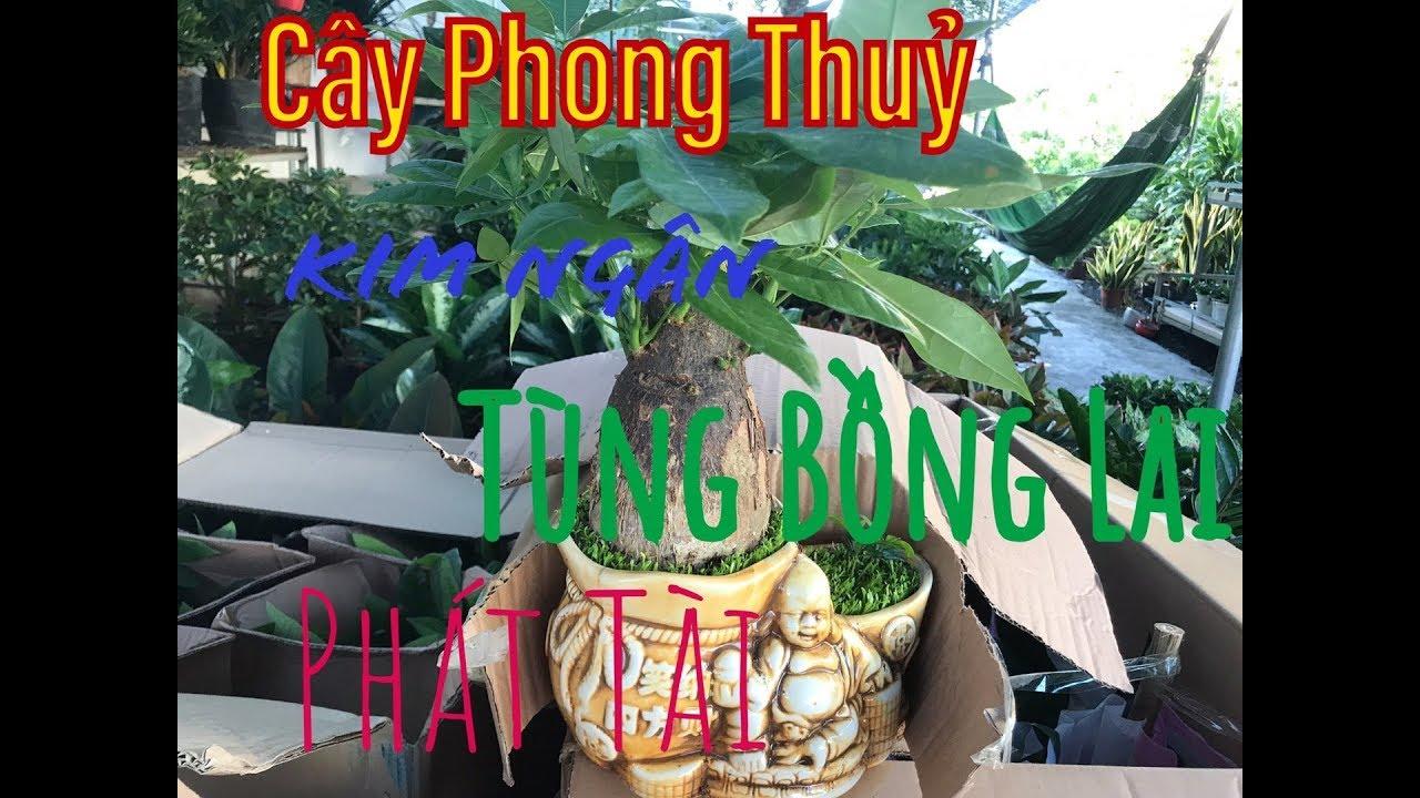 Cây Phong Thuỷ | Kim Ngân | Tùng Bồng Lai | Cây Cảnh Tv