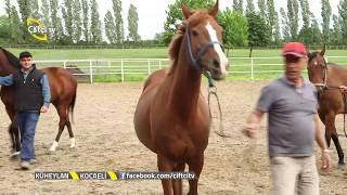 Küheylan - Yarış Atı Yetiştiriciliğinde  Bakım ve Besleme