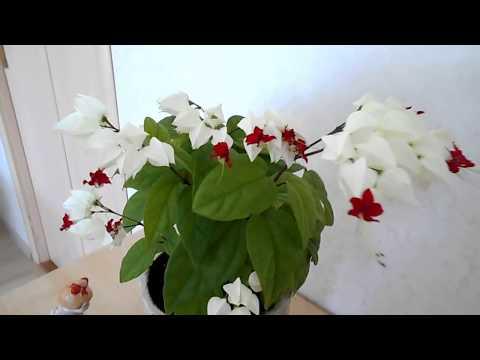 Как ухаживать за цветком клеродендрум