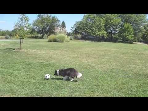 Lily, the Amazing Soccer Playing Border Collie!