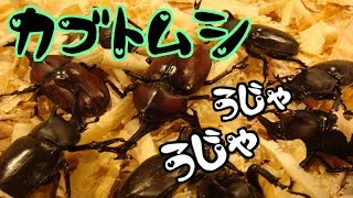 庭で育ててきたカブトムシ幼虫が成虫に! カブトムシ採集 in 庭.