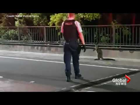 Police chase wallaby over Sydney Harbour Bridge