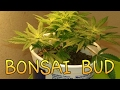 """A Flowering 4"""" Bonsai MJ Plant And A Blooming MMJ Flower Update"""